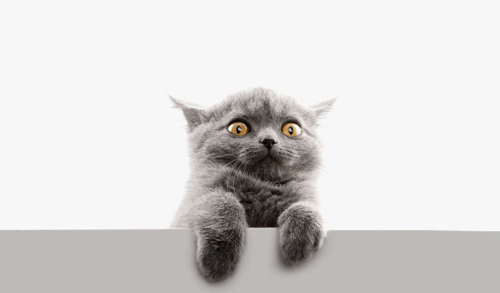 1024x600 wallpaper Scared face, cat, animal