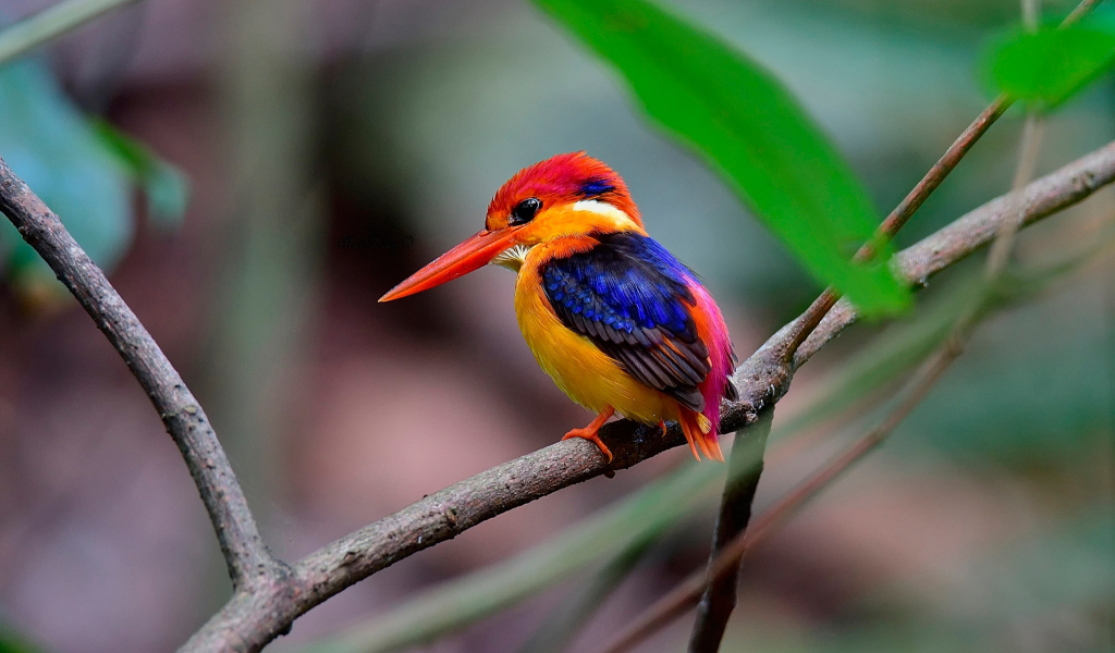 1024x600 wallpaper Beautiful bird, kingfisher, colorful bird