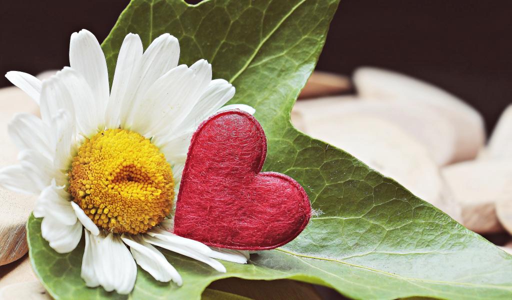 1024x600 wallpaper Marguerite, daisy white, heart, flowers