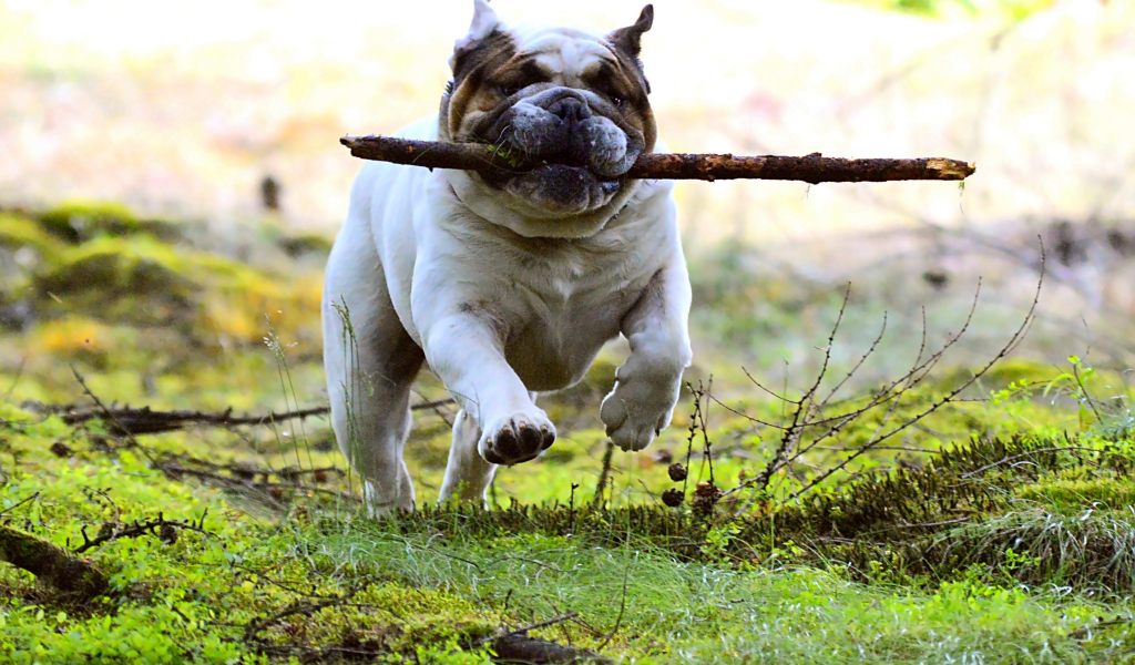 1024x600 wallpaper Dog, pet bulldog, run, play