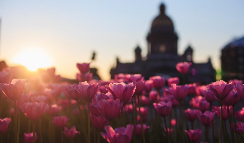 1024x600 wallpaper Pink Tulips, flowers farm, sunset