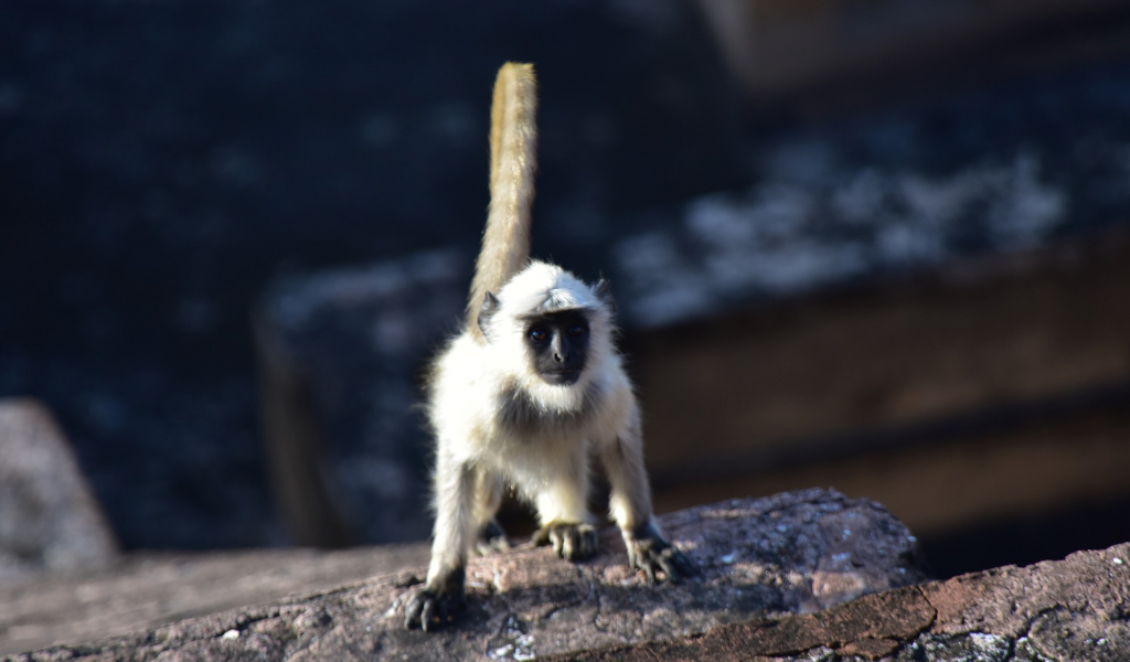1024x600 wallpaper Indian, black head monkey, animal