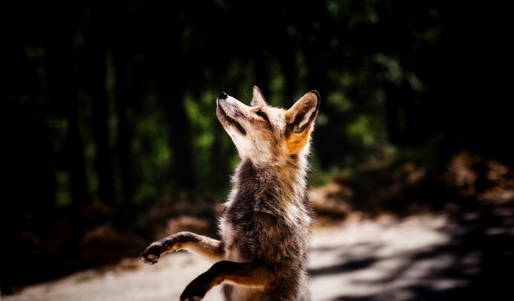 1024x600 wallpaper Jump, fox, wildlife, animal