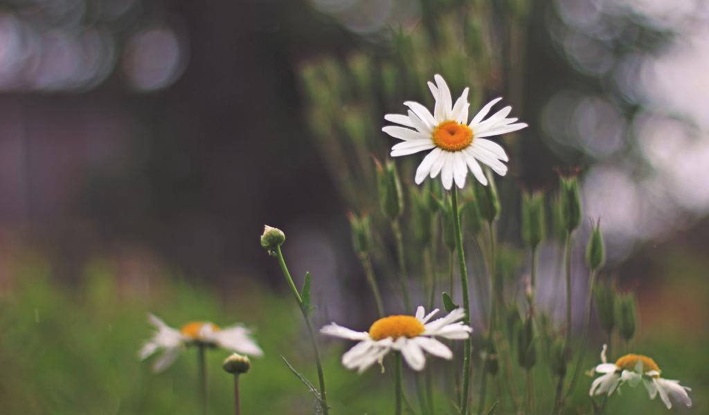 1024x600 wallpaper Beautiful flowers, white daisy, park
