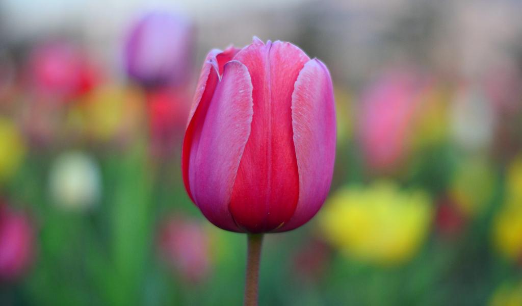 1024x600 wallpaper Bud, tulip flower, pink, blur
