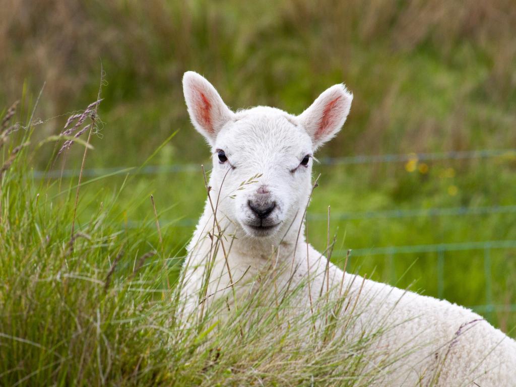 Desktop Wallpaper Cute Lamb Grazing Grass Domestic Animal Hd Image Picture Background 3d78a3