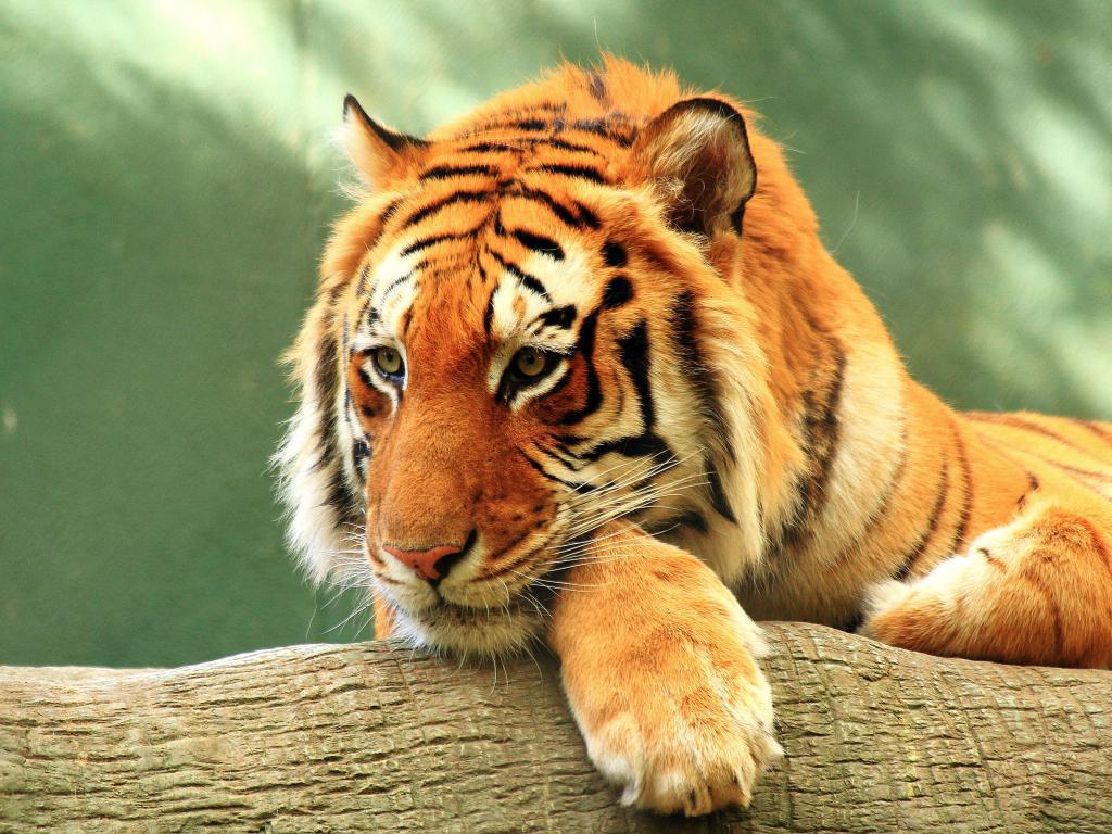 Робот-тигр  № 3606251  скачать