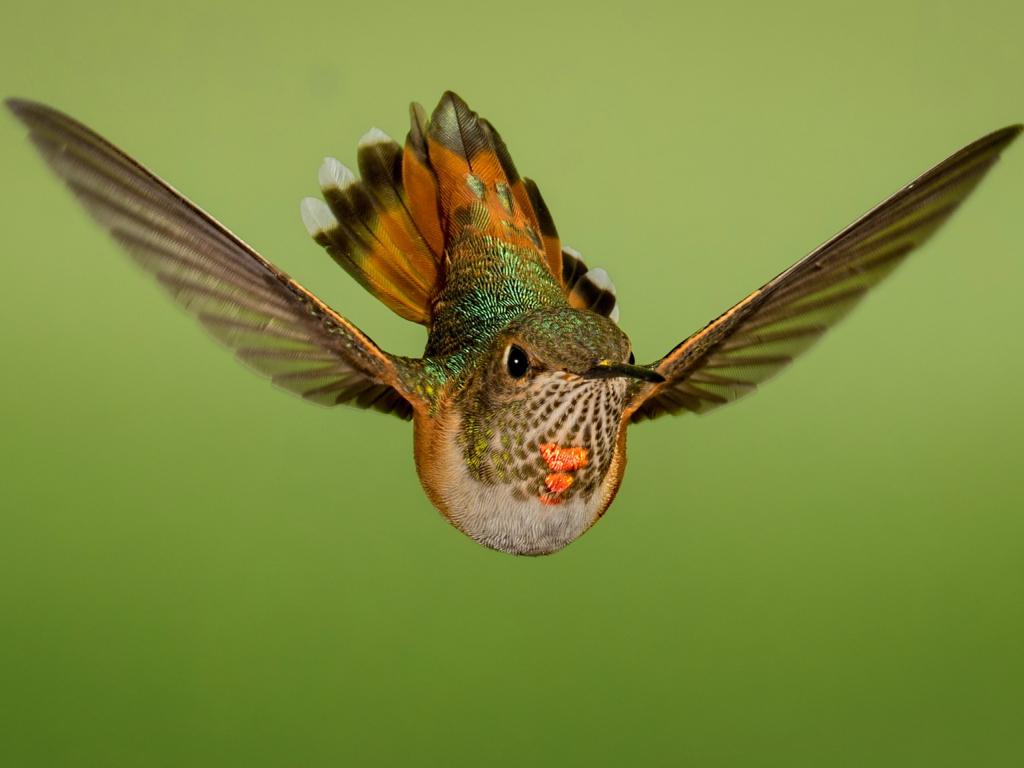 1024x768 wallpaper Flight, close up, hummingbird
