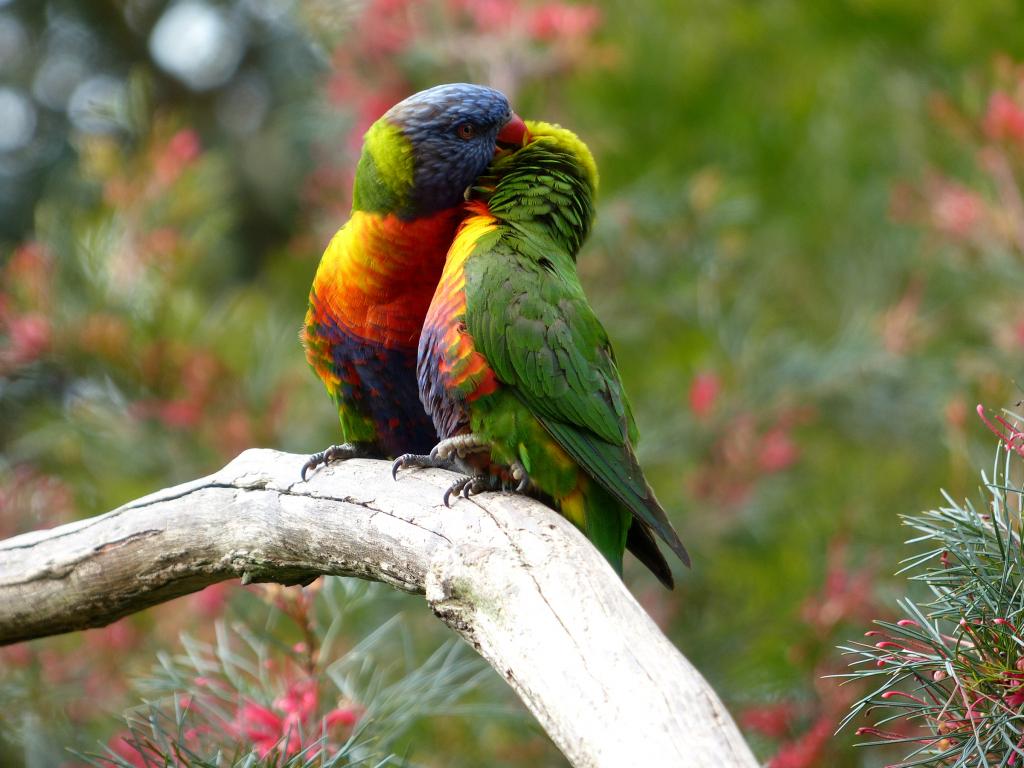 A Beautiful Couple Of Lorikeet Birds Wallpaper Hd: Rainbow Lorikeet Birds, Couple Wallpaper, 2400x1800, Hd