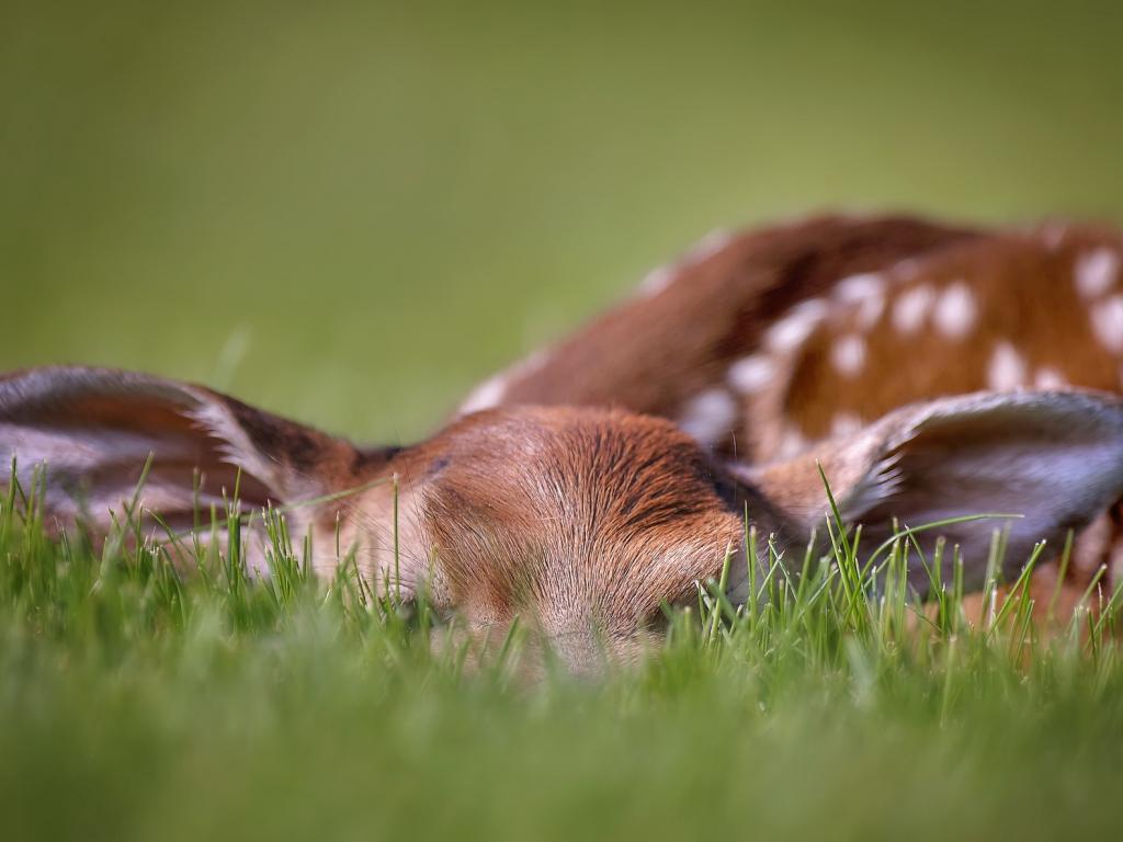 Download Wallpapers Download 2790x2547 Animals Grass: Desktop Wallpaper Deer, Cute, Spotted Wild Animal, Sleep