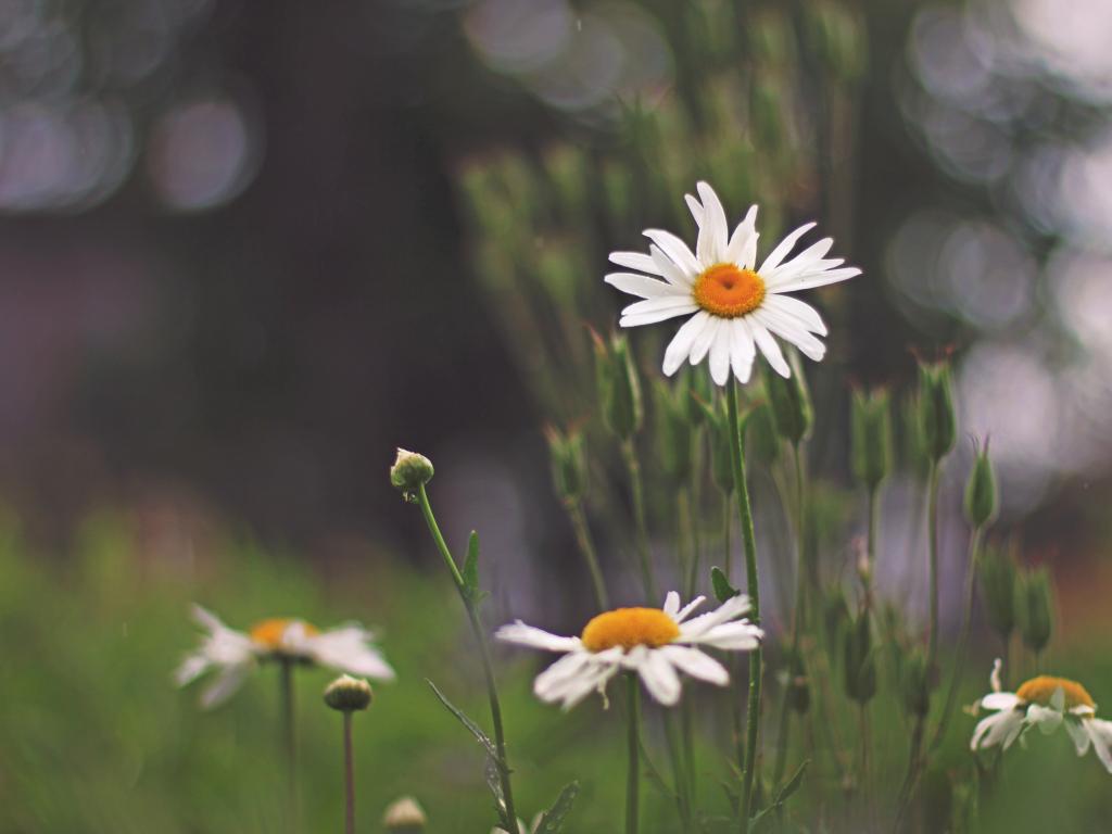 1024x768 wallpaper Beautiful flowers, white daisy, park