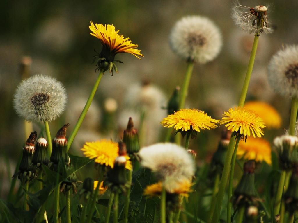 Desktop wallpaper dandelions yellow flowers meadow hd - Dandelion hd wallpapers 1080p ...