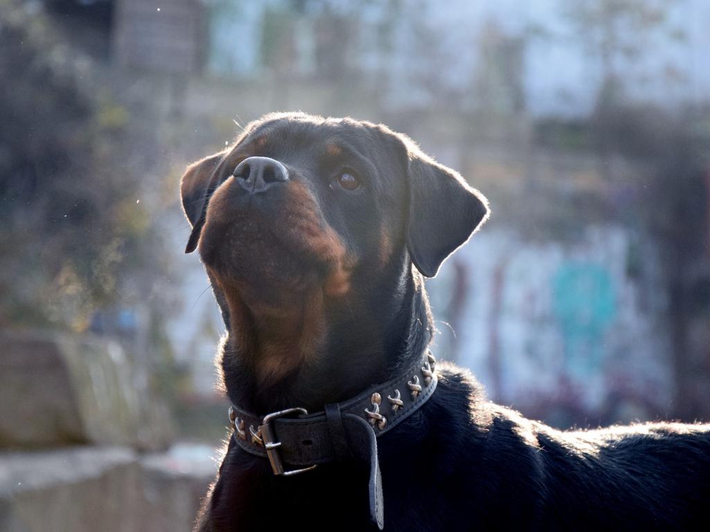Rottweiler Dog Animal Black