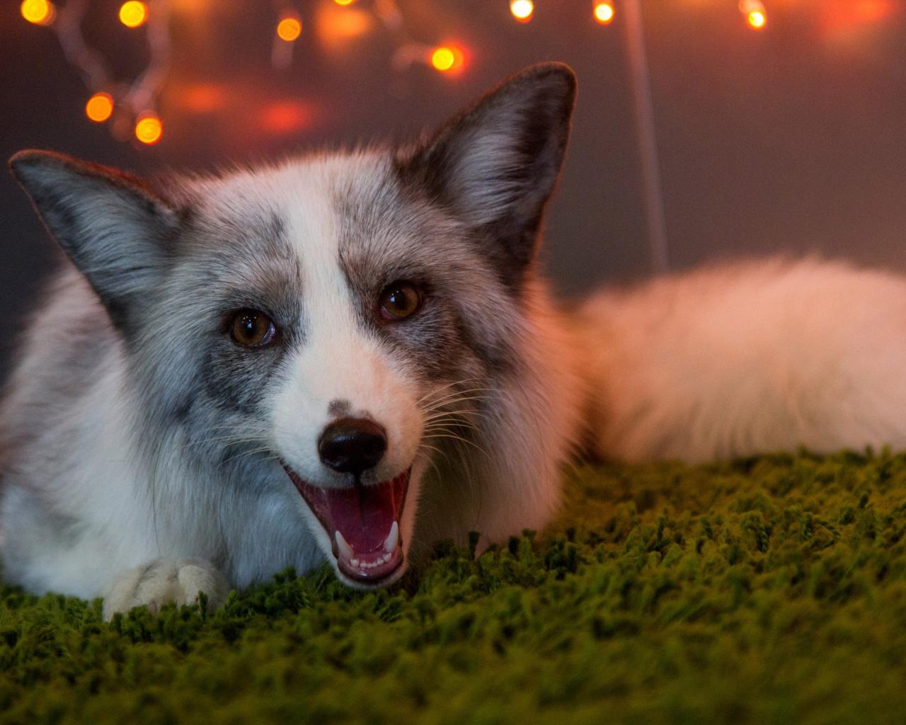 1280x1024 wallpaper Fox, wild beasts, animal