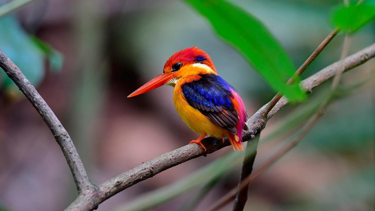 1280x720 wallpaper Beautiful bird, kingfisher, colorful bird