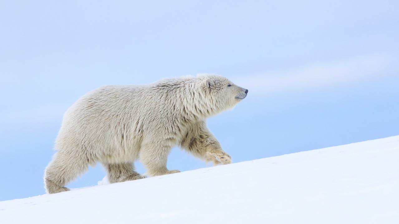 Download 1280x720 Wallpaper White Polar Bear Arctic Animals Hd