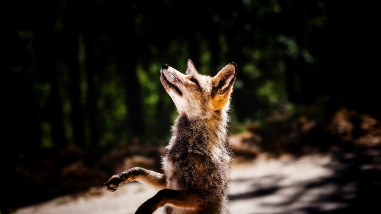1280x720 wallpaper Jump, fox, wildlife, animal