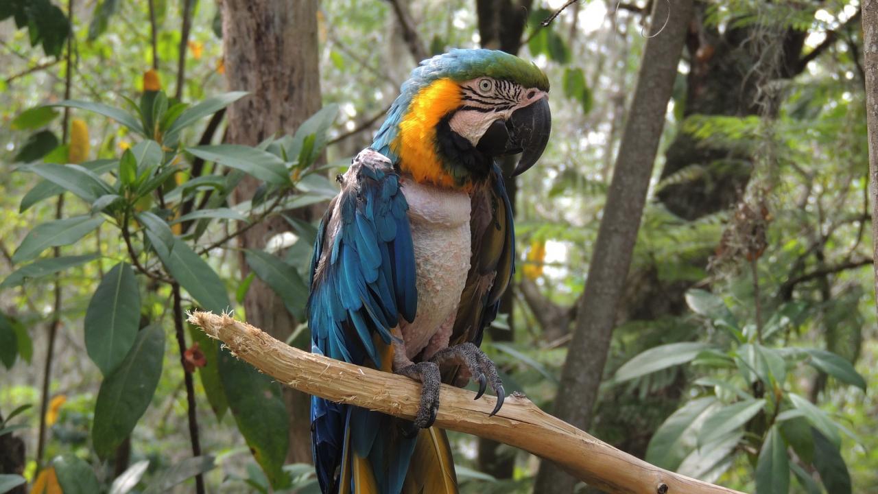 1280x720 wallpaper Macaw, parrot, blue green bird