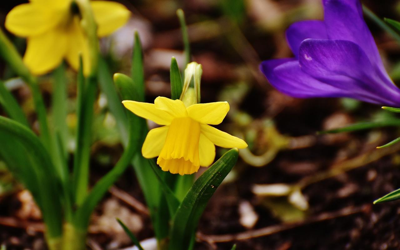 Download 1280x800 Wallpaper Daffodils Crocus Yellow Blue Flowers