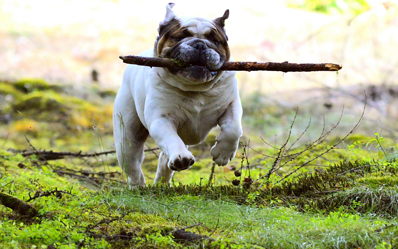 1280x800 wallpaper Dog, pet bulldog, run, play