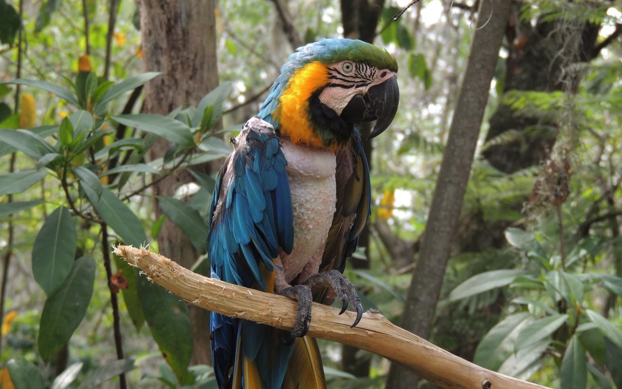 1280x800 wallpaper Macaw, parrot, blue green bird