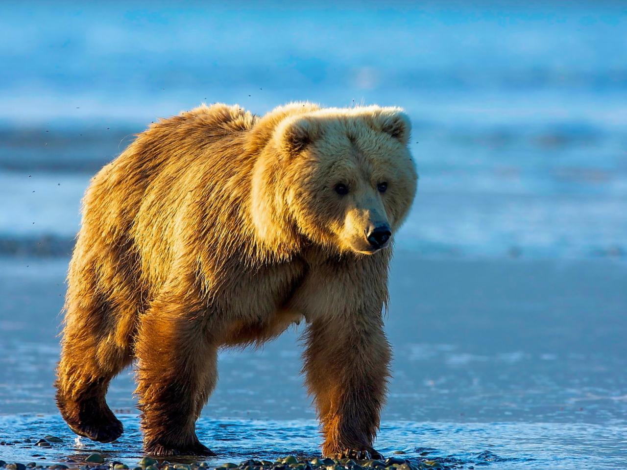 1280x960 wallpaper Bear, wild animal, furry animal