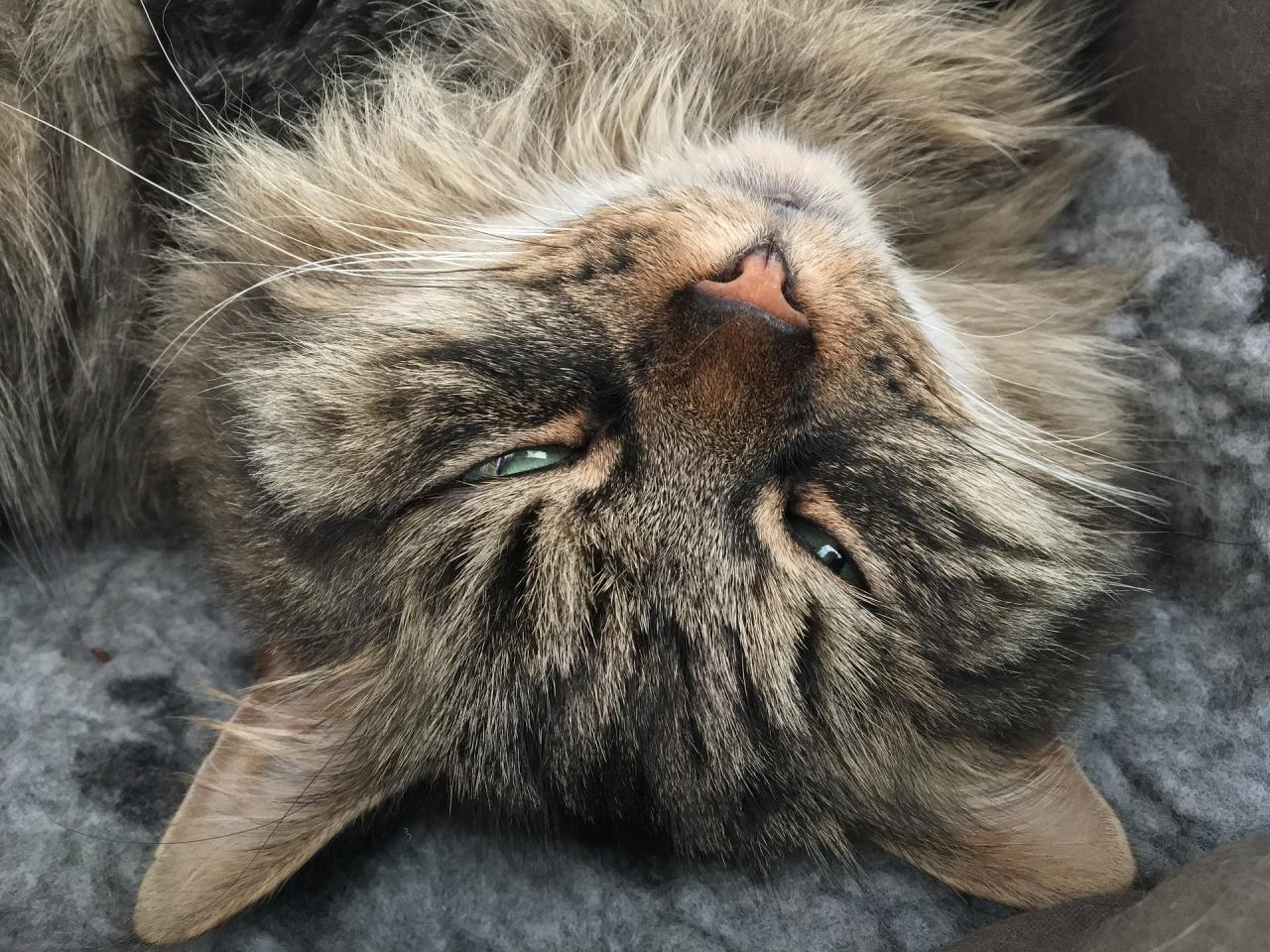 1280x960 wallpaper Siberian cat muzzle, furry, sleeping