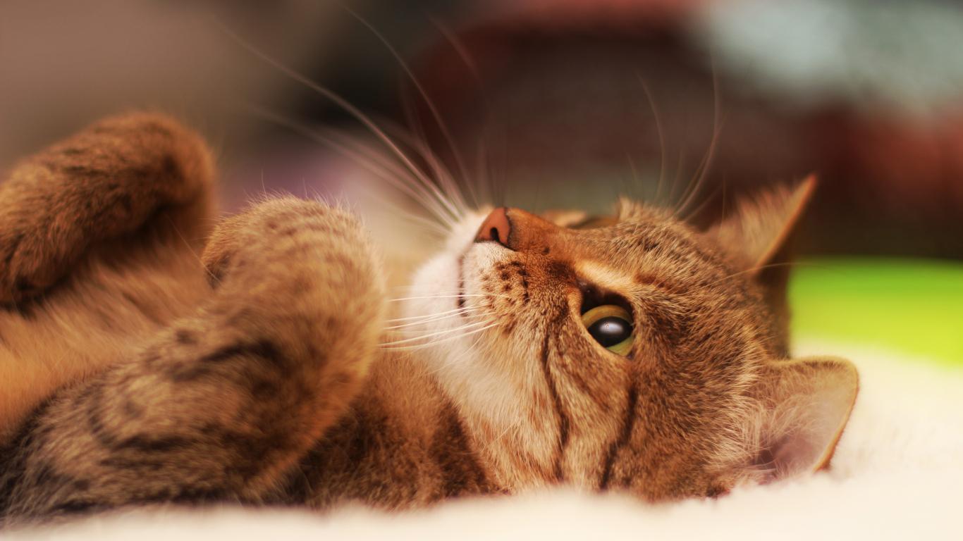 Download 1366x768 Wallpaper Kitten Cat Animal Tablet Laptop 1366x768 Hd Image Background 452