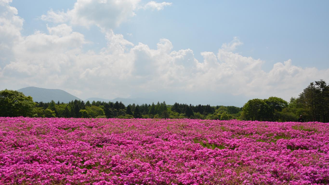 Download 1366x768 Wallpaper Pink Flowers Field In Summer Tablet
