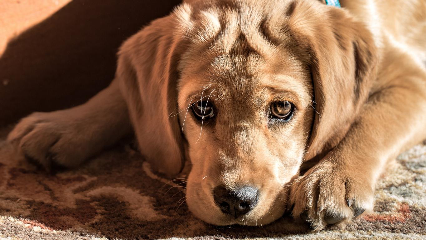 Download 1366x768 Wallpaper Golden Retriever Dog Puppy Tablet Laptop 1366x768 Hd Image Background 8511