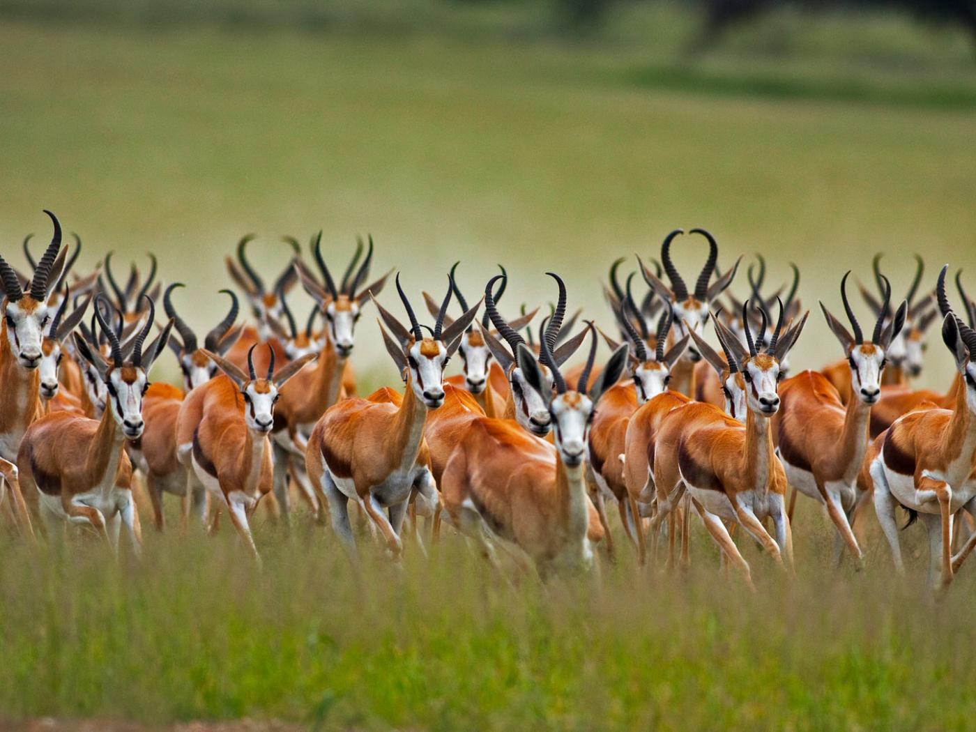 1400x1050 Wallpaper Springbok Antelope Wild Animal