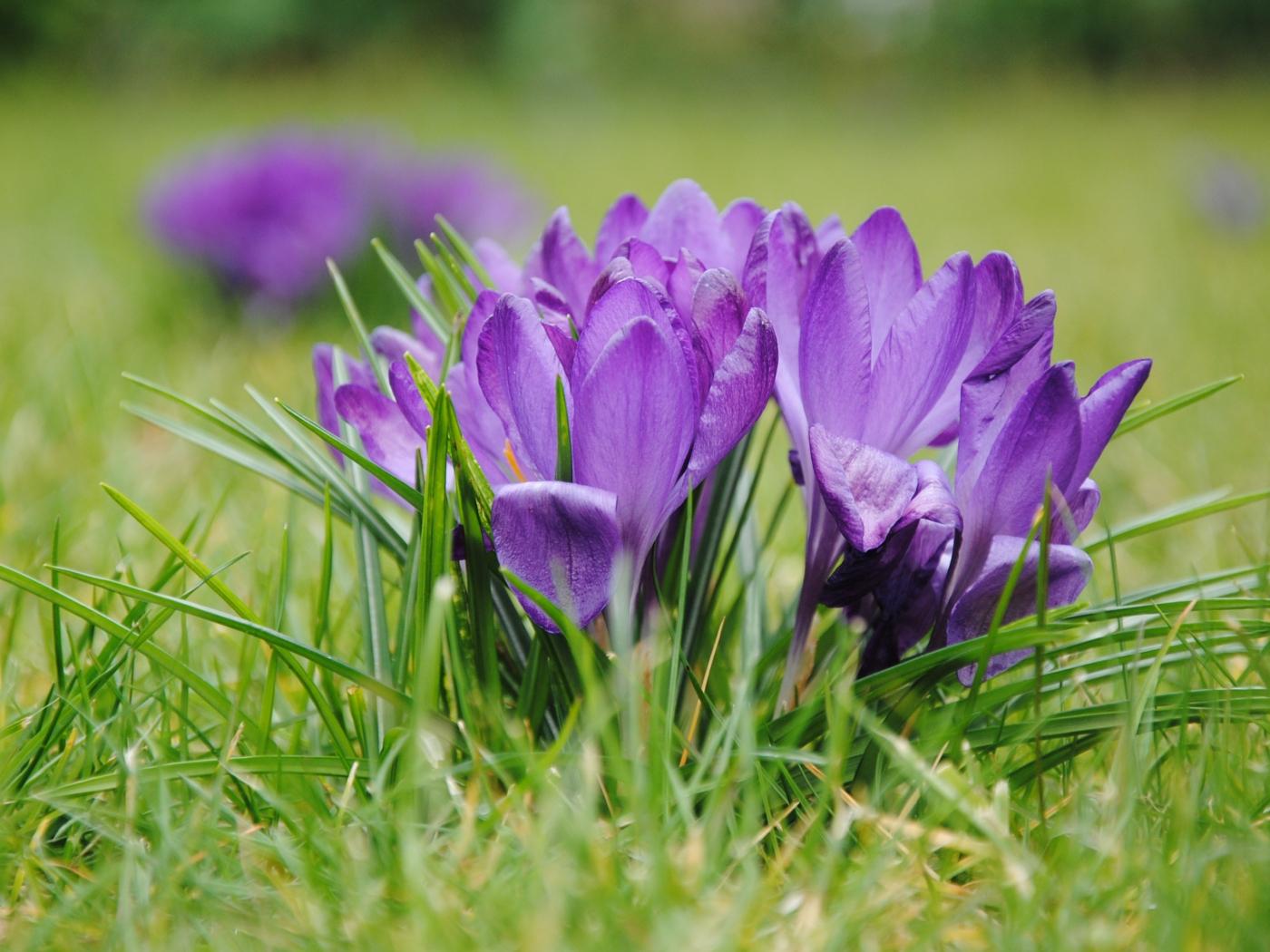 1400x1050 wallpaper Purple crocus, flowers, grass, bloom