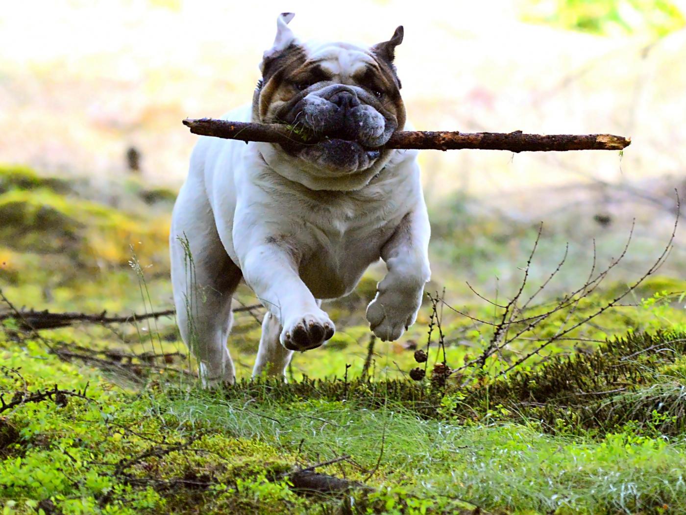 1400x1050 wallpaper Dog, pet bulldog, run, play
