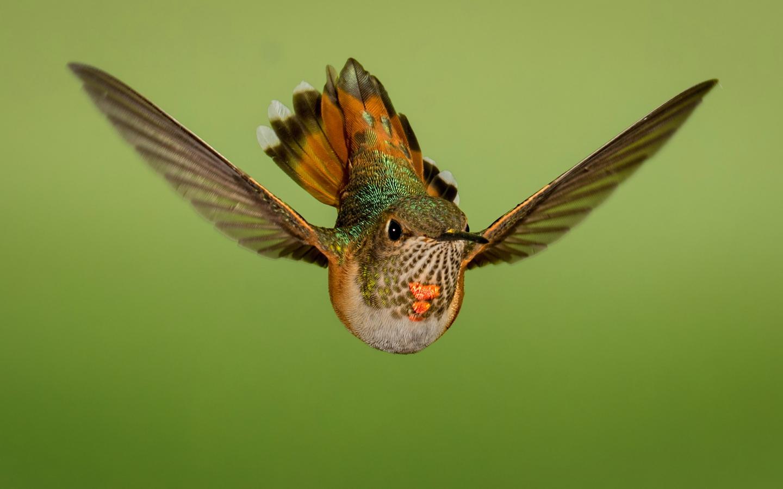 1440x900 wallpaper Flight, close up, hummingbird