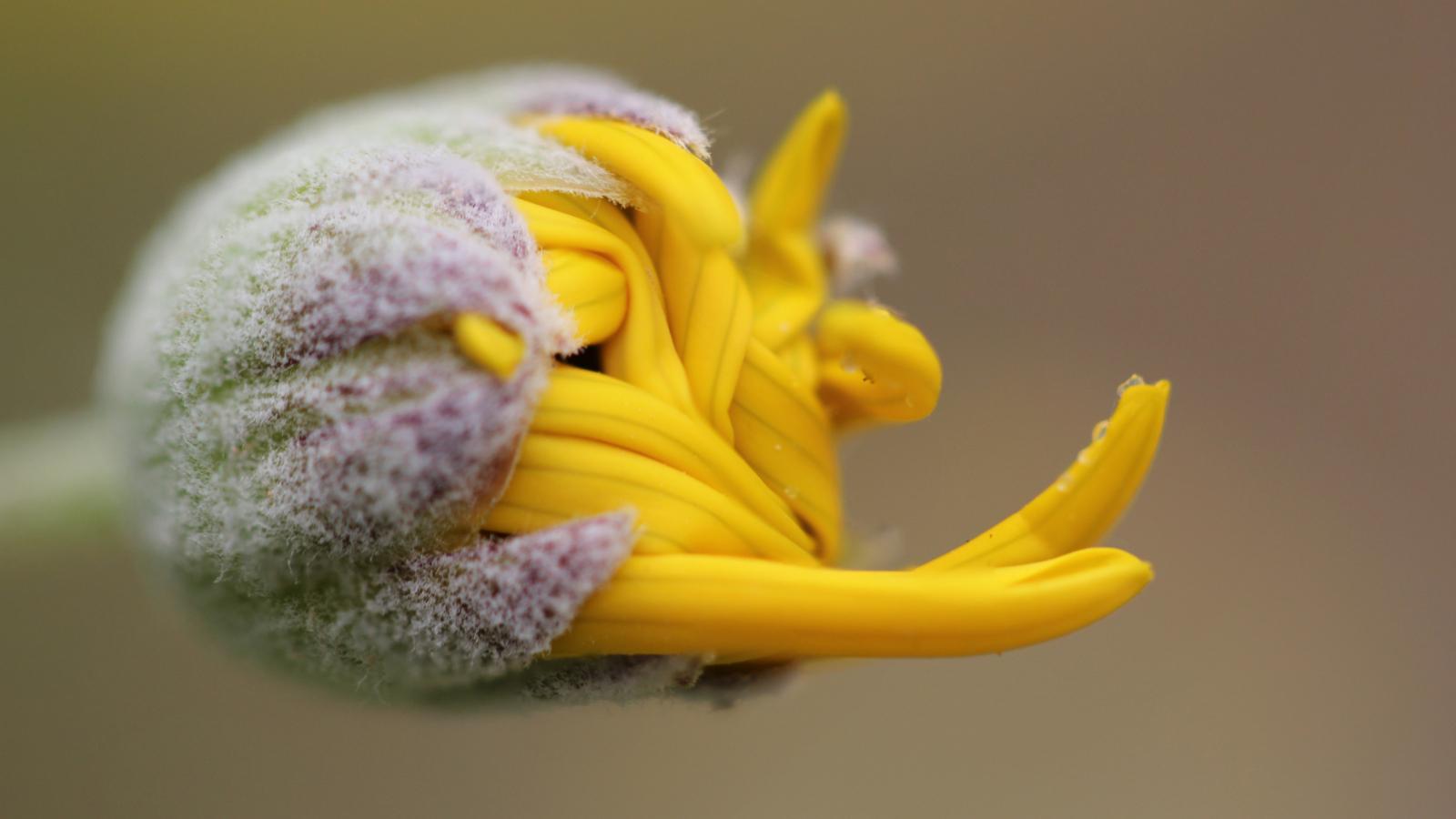 1600x900 wallpaper Yellow flower bud, close up