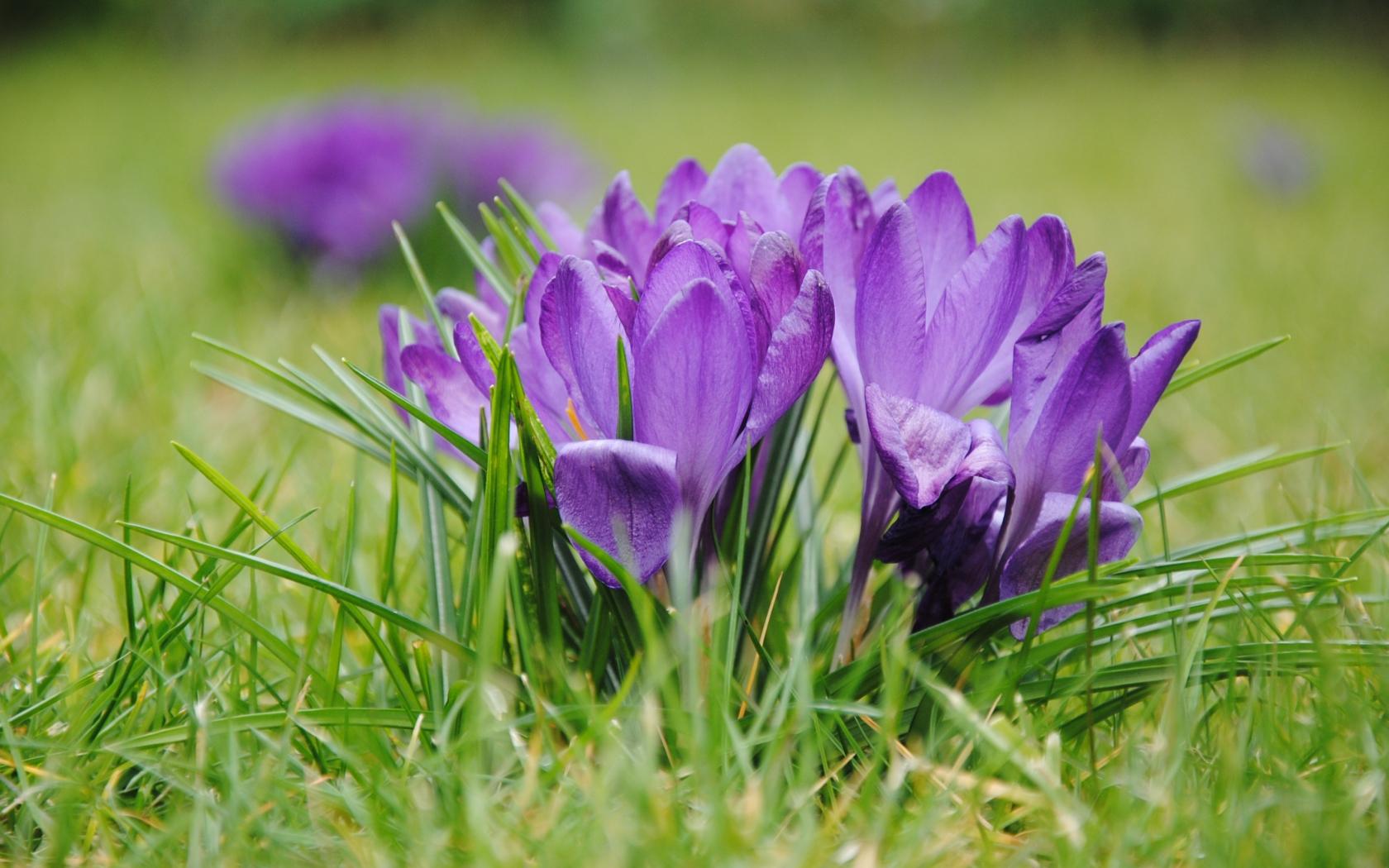 1680x1050 wallpaper Purple crocus, flowers, grass, bloom