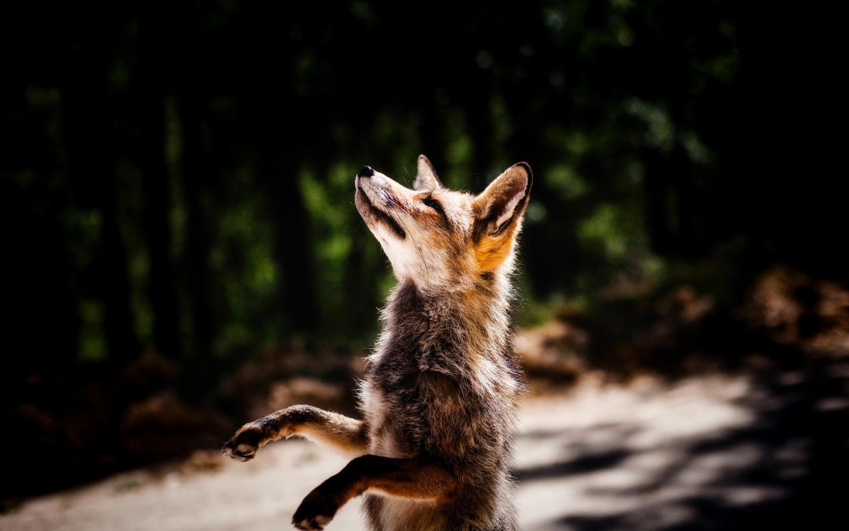 1680x1050 wallpaper Jump, fox, wildlife, animal