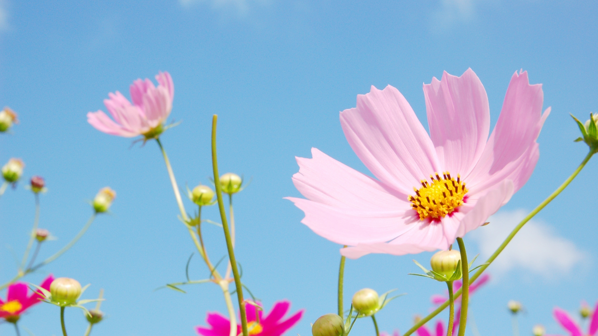 download 1920x1080 wallpaper meadow flowers blossom pink cosmos