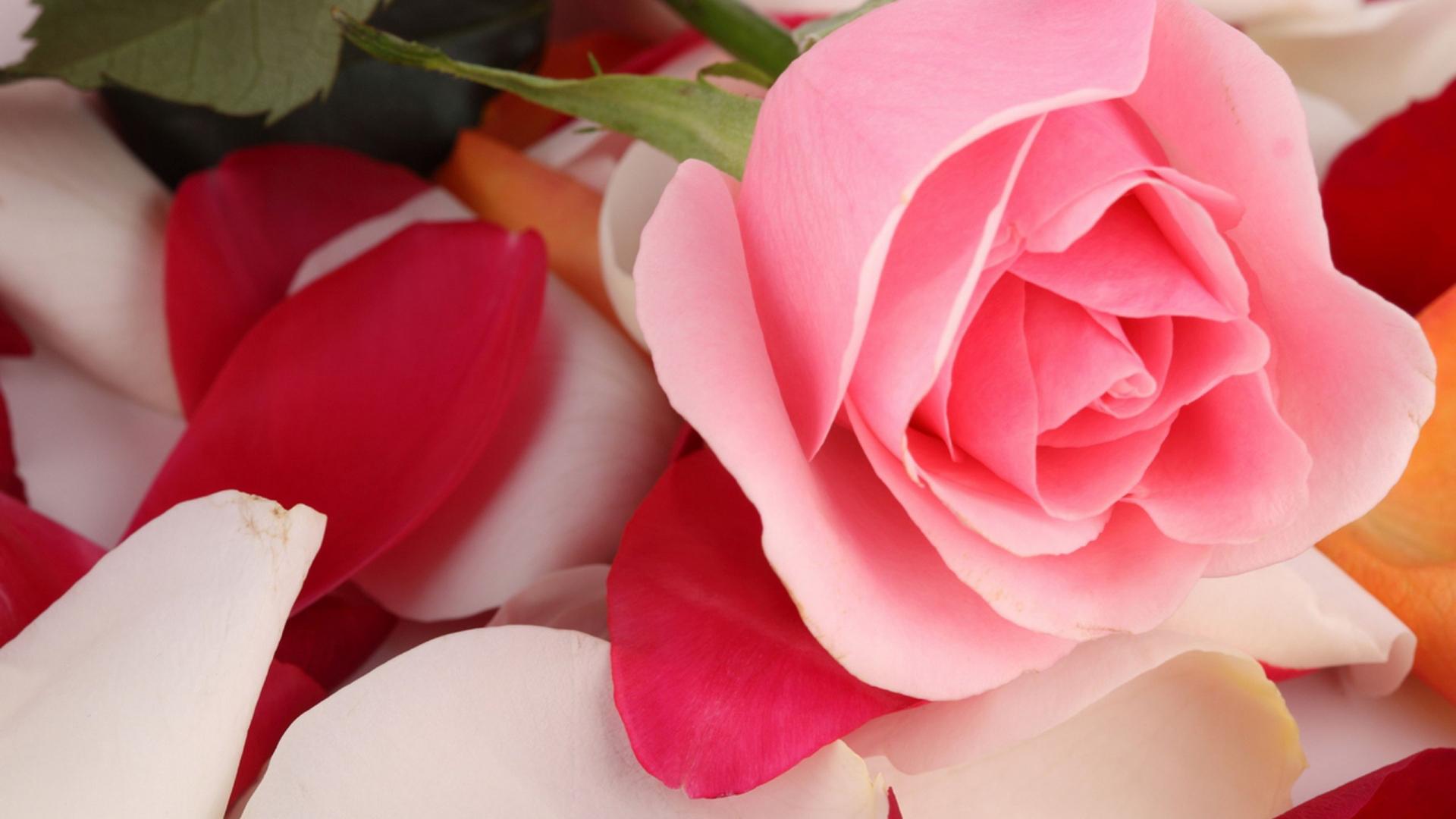 Download 1920x1080 wallpaper beautiful pink rose flower full hd 1920x1080 wallpaper beautiful pink rose flower izmirmasajfo
