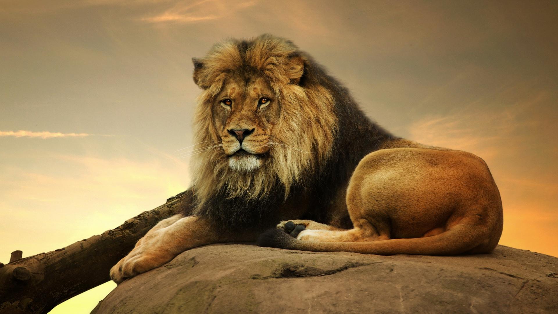 Download 1920x1080 Wallpaper Lion King Of Animals Predator Sit