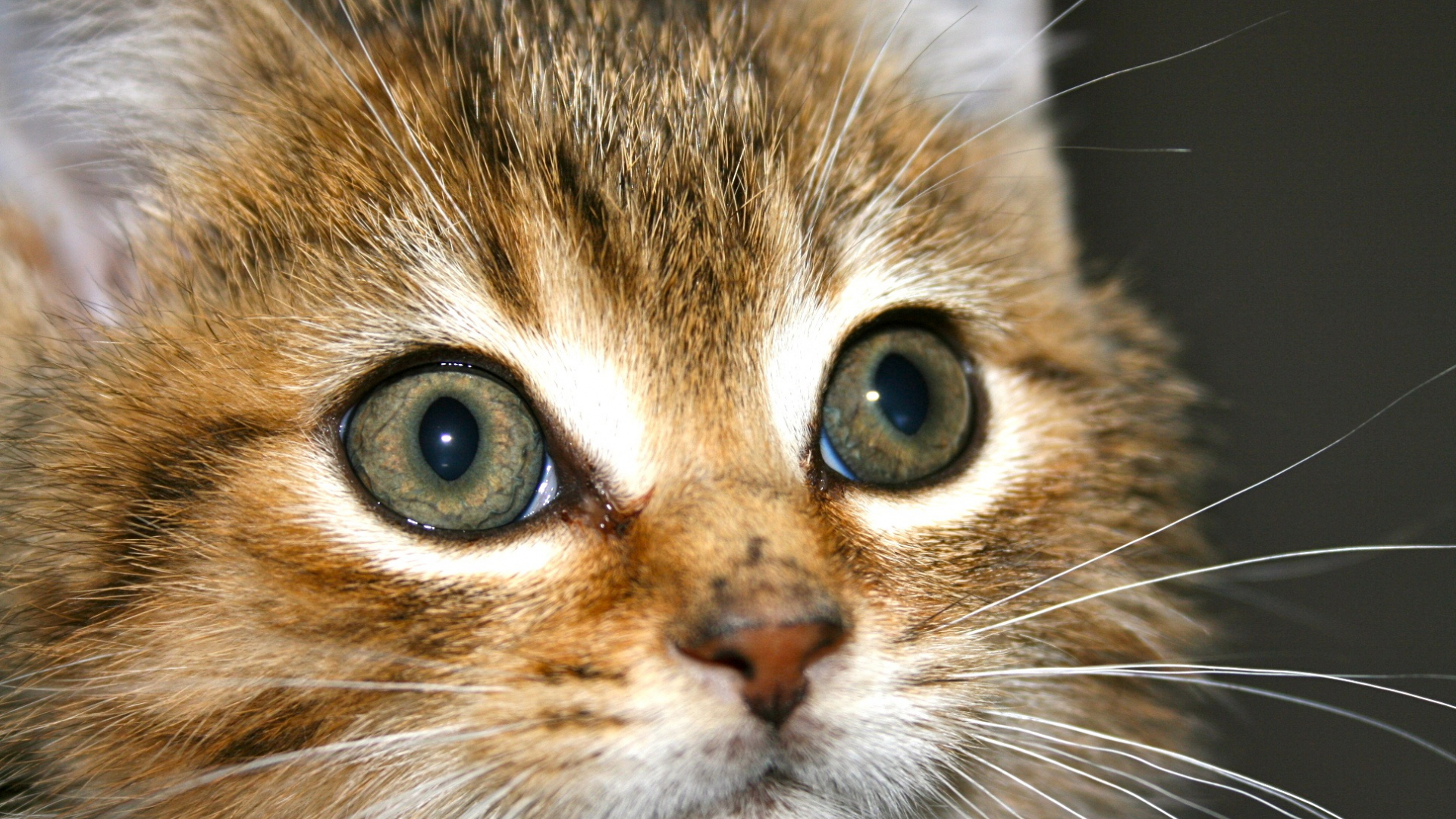 Download 1920x1080 Wallpaper Kitten Small Cat Muzzle Eyes Fur Pet Full Hd Hdtv Fhd 1080p 1920x1080 Hd Image Background 16280
