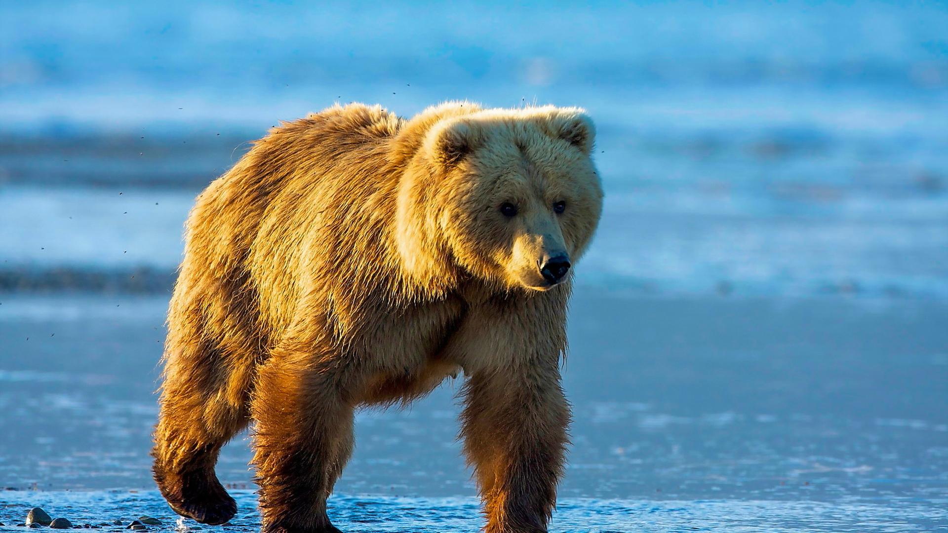 1920x1080 wallpaper Bear, wild animal, furry animal