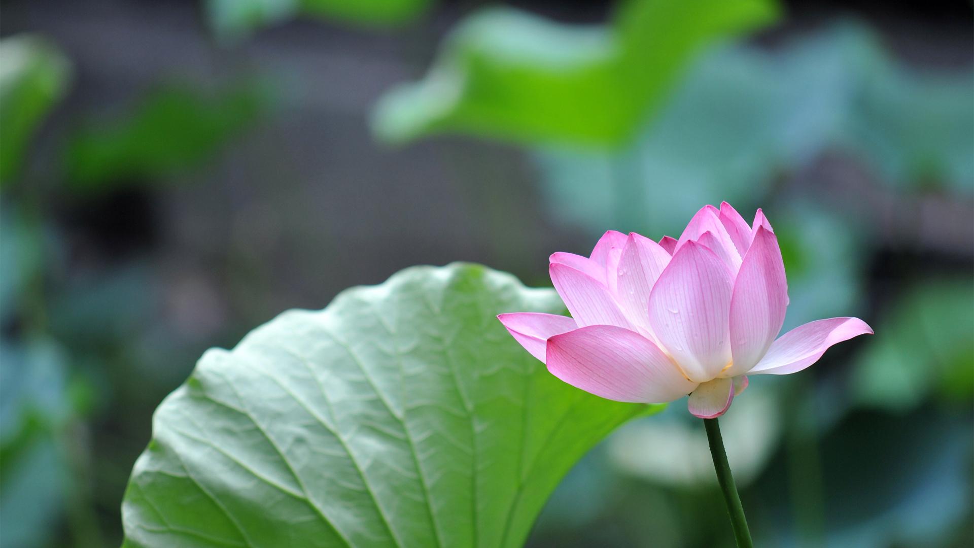 Download 1920x1080 Wallpaper Pink Lotus Flower Leaves