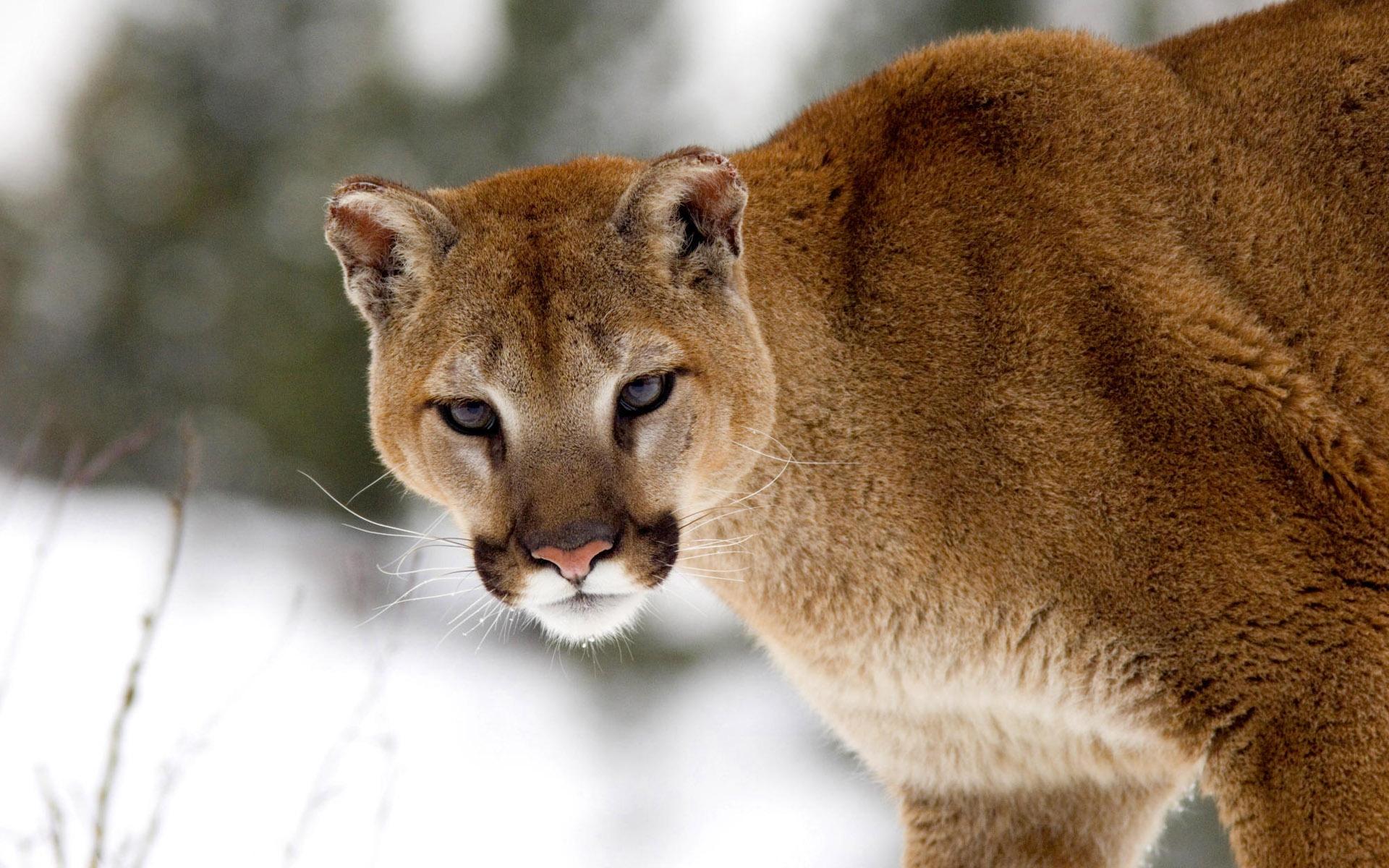 Download 1920x1200 Wallpaper Wild Cat, Predator, Cougar, Ani