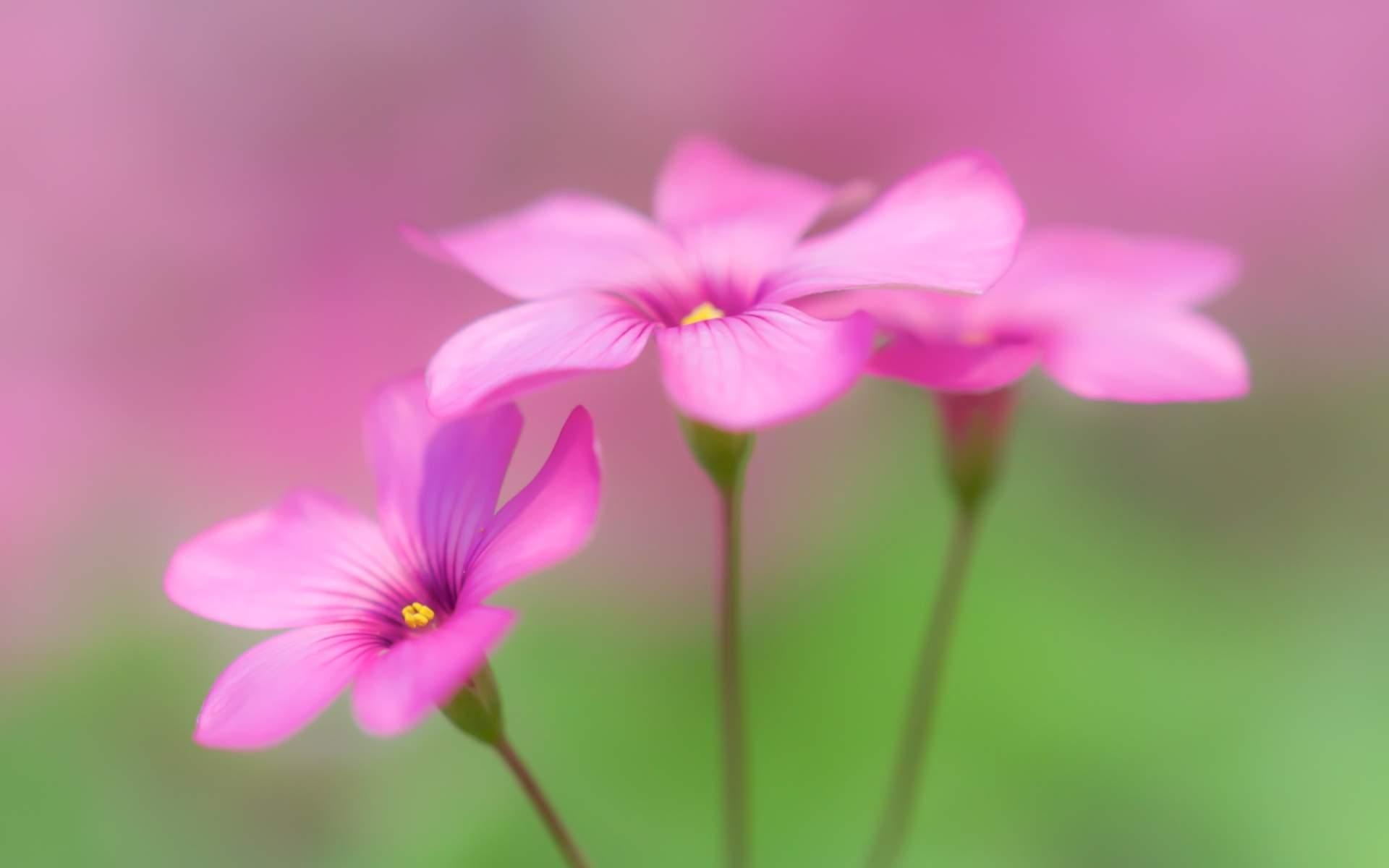 Download 1920x1200 Wallpaper Cute Pink Flowers Widescreen 1610