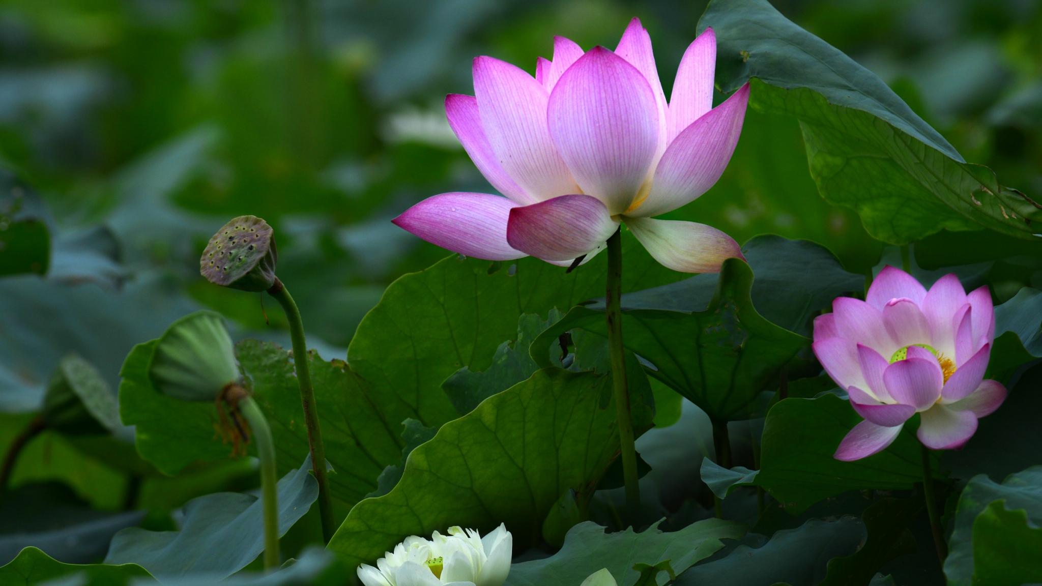 Download 2048x1152 Wallpaper Pink Lotus Flower Of Lake Leaves