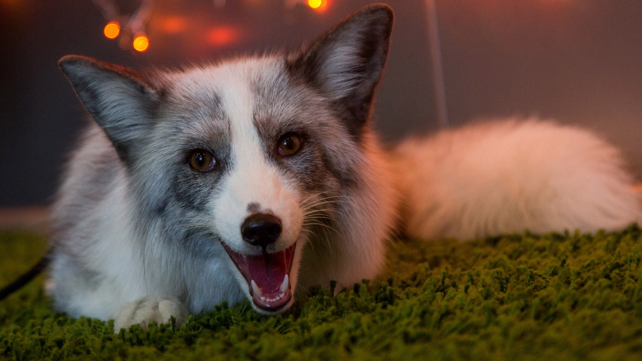 2048x1152 wallpaper Fox, wild beasts, animal