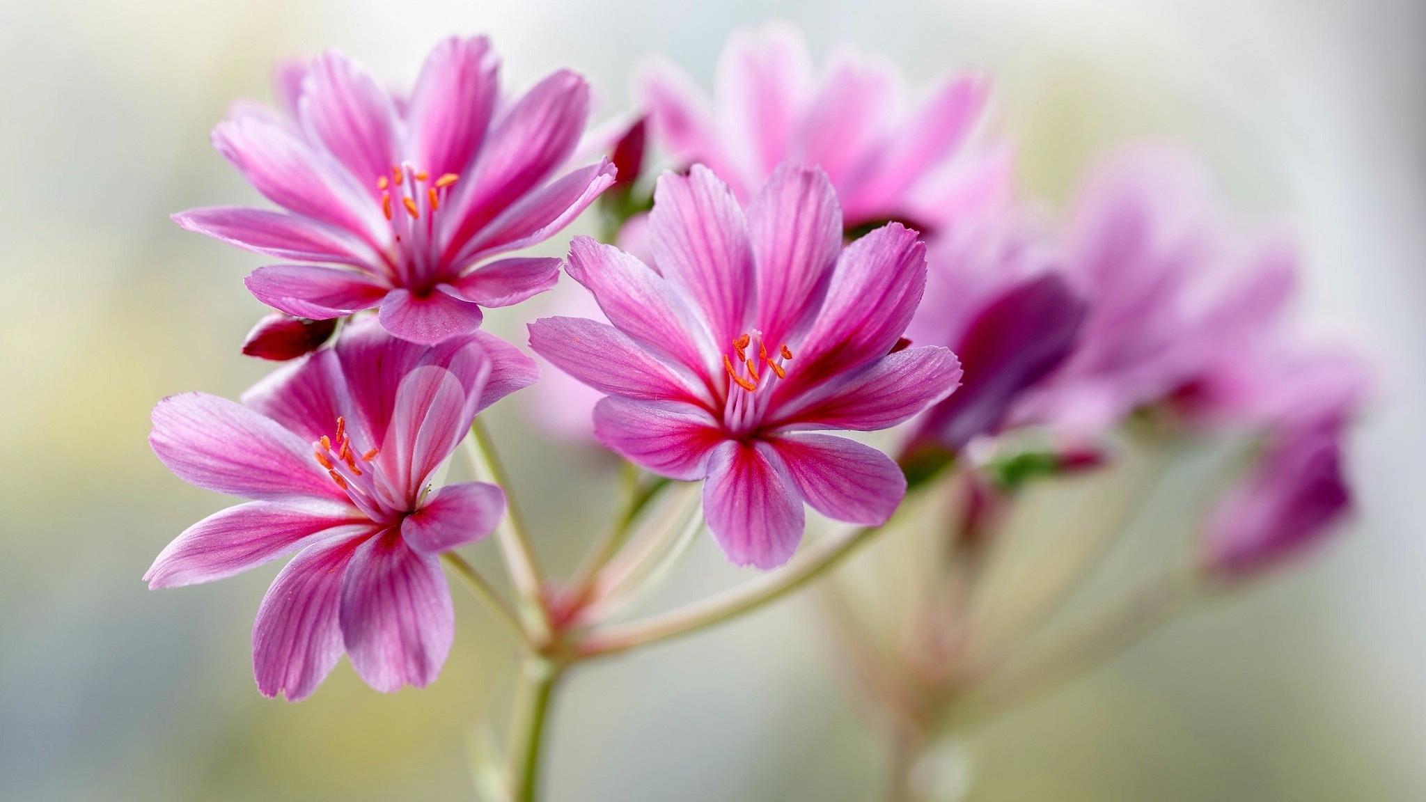 Download 2048x1152 Wallpaper Blur Portrait Light Pink Flowers