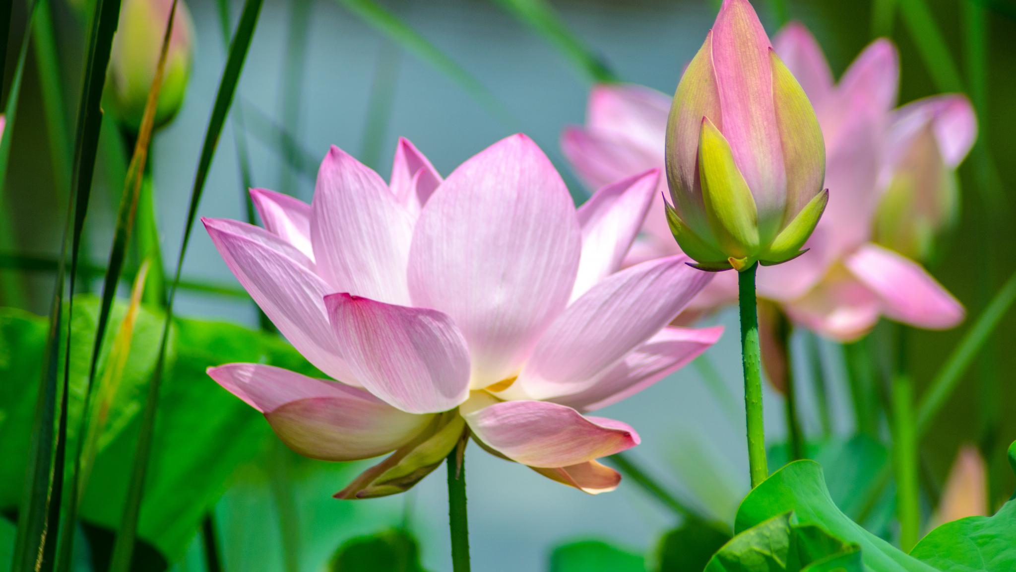 Download 2048x1152 Wallpaper Lotus Flowers Pink Bud Dual Wide