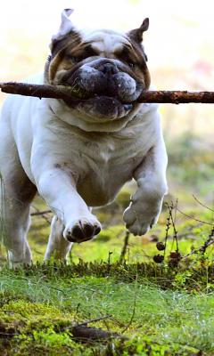 240x400 wallpaper Dog, pet bulldog, run, play